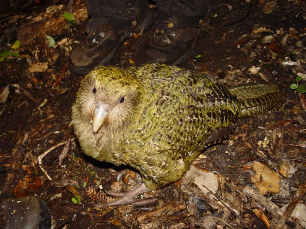Какапо или совиный попугай- - f0