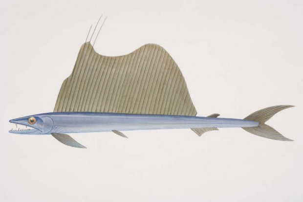 Алепизавр (лат. Alepisaurus) (англ. Lancetfish)