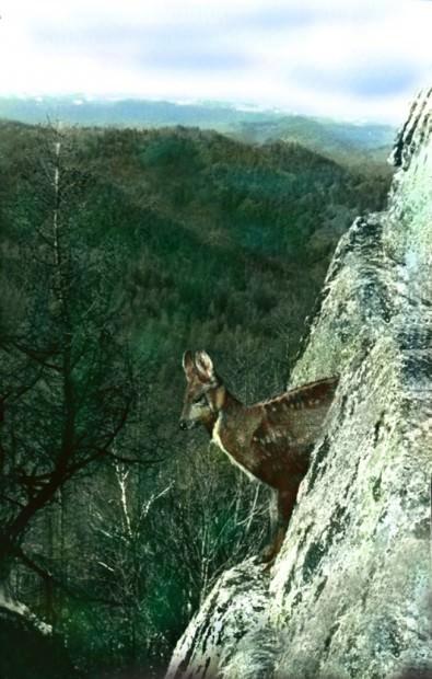 Кабарга (лат. Moschus moschiferus) (англ. Musk Deer)
