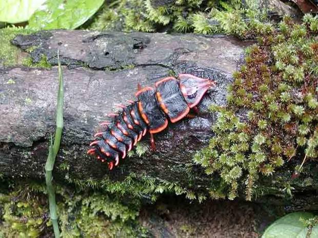 Жуки-трилобиты (лат. Duliticola) (англ. Trilobit)
