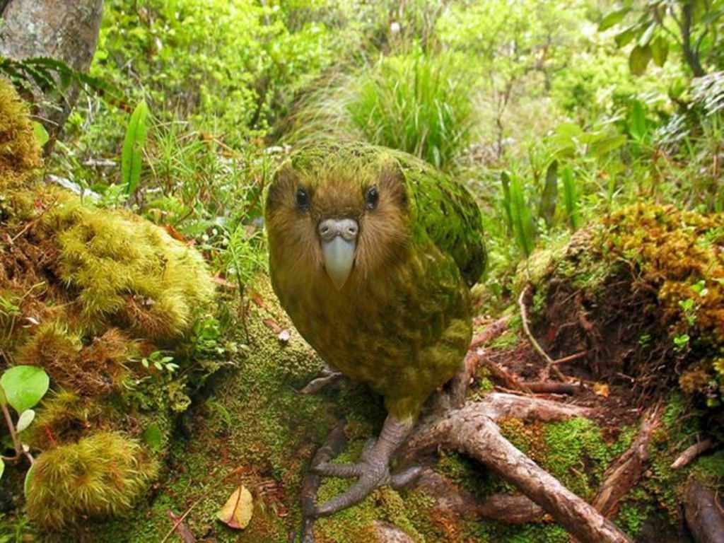 Какапо или совиный попугай- - fb839
