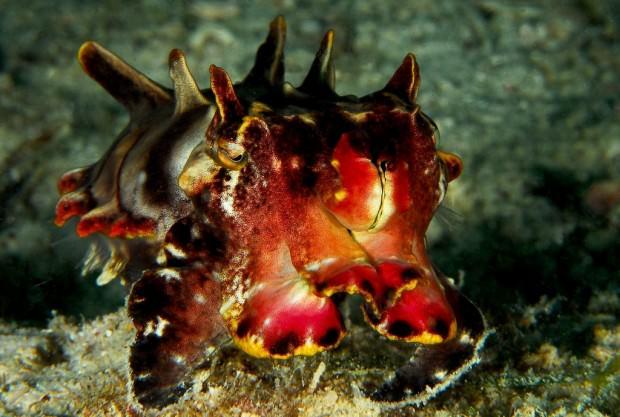 Расписная каракатица (лат. Metasepia pfefferi) (англ. Flamboyant cuttlefish)