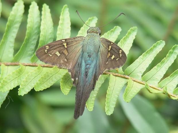 Бабочка урбанус изменчивый (лат. Urbanus proteus) (англ. Long-tailed Skipper)