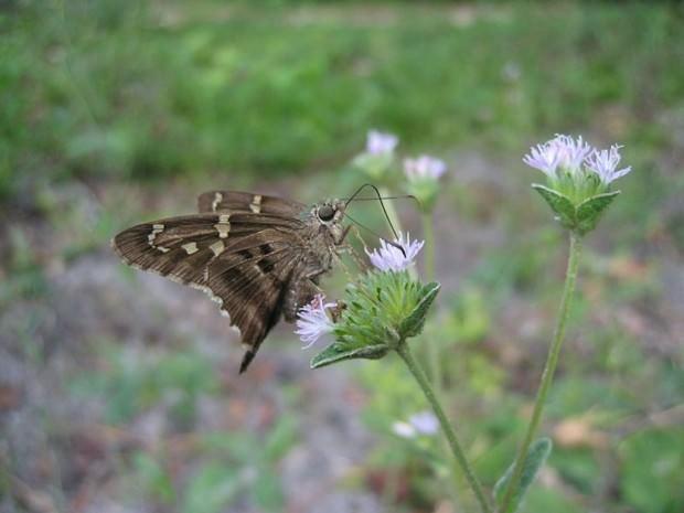 Бабочка урбанус изменчивый (лат.Urbanus proteus) (англ. Long-tailed Skipper)