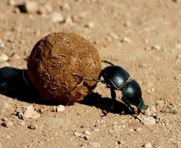 ��������� �������� (���. Scarabaeus sacer) (����. Dung Beetle)