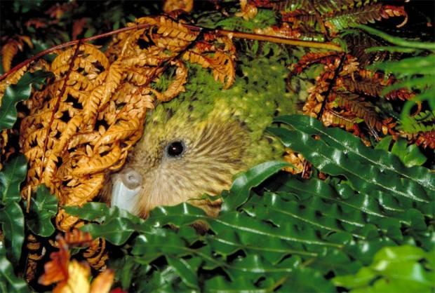 Какапо или совиный попугай- - 7f55