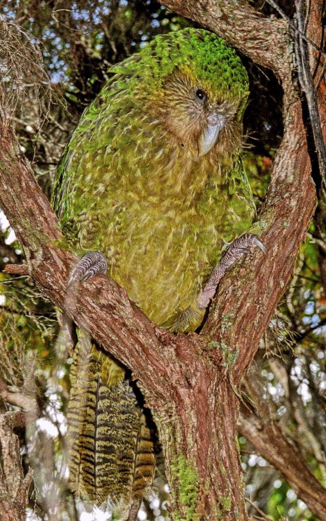 Какапо или совиный попугай- - 781