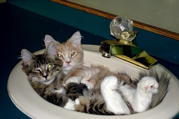 Смешные картинки животных - Выпуск № 47 (Кошки в раковинах)