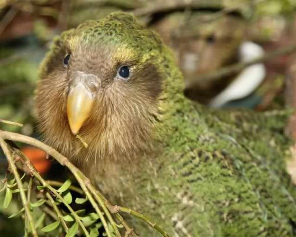 Какапо или совиный попугай- - 4e