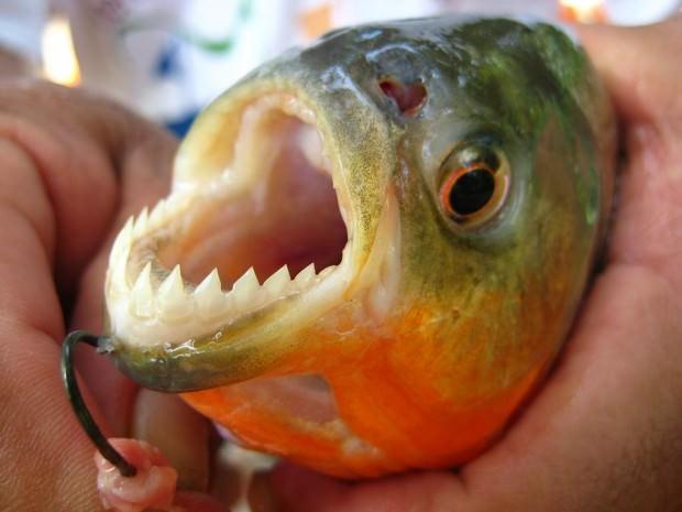 Самые опасные животные Амазонии