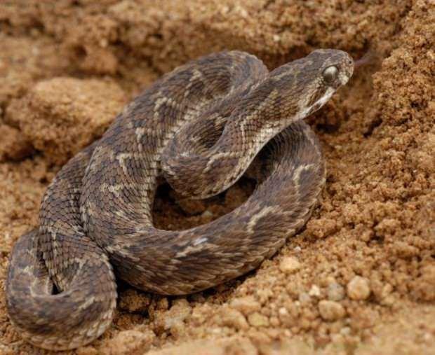 Песчаная эфа (лат. Echis carinatus) (англ. Saw-scaled Viper)