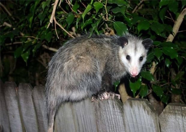 Опоссумы (лат. Didelphidae) (англ. Opossum)