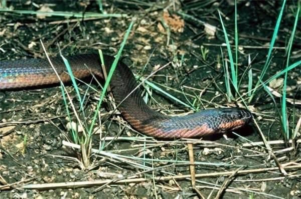 Капуасская грязевая змея или змея-хамелеон (лат. Enhydris gyii) (англ. Kapuas mud snake)