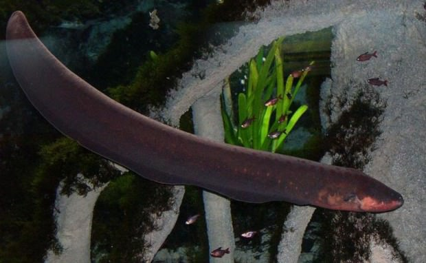 Электрический угорь (лат. Electrophorus electricus) (англ. Electric eel)