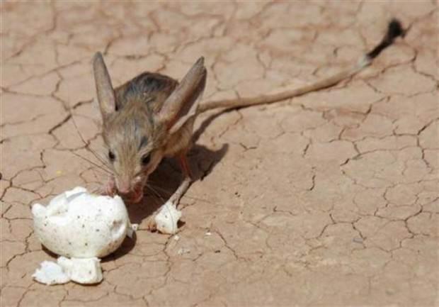 Длинноухий тушканчик (лат. Euchoreutes naso) (англ. Long-eared jerboa)