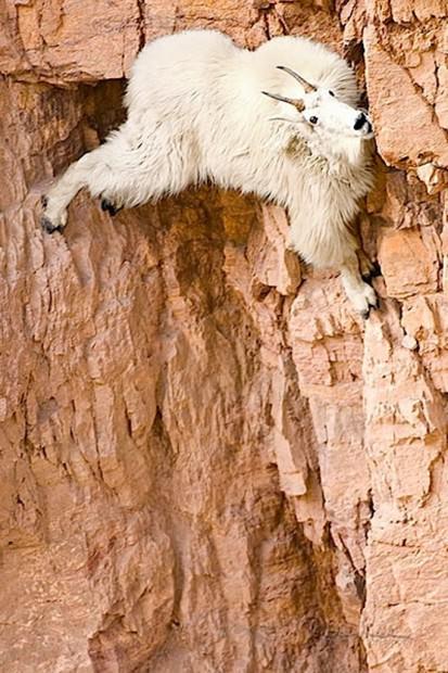 Ибексы или альпийские горные козлы (лат. Capra ibex)