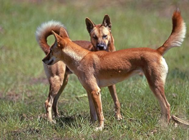 Дикая собака динго (лат. Canis lupus dingo) (англ. Dingo)