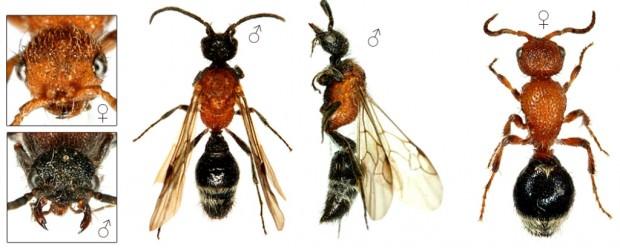Осы-немки или бархатные муравьи (лат. Mutillidae) (англ. Velvet ants)