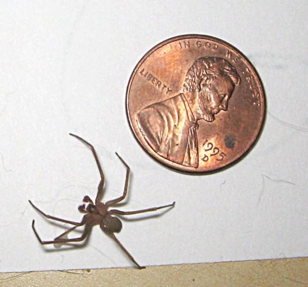 Brown recluse spider bites beginning