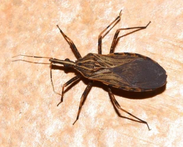 Хищнецы (лат. Reduviidae) (англ. Assassin Bugs)