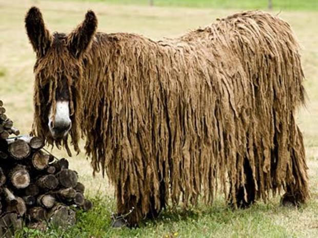 Длинношерстный осёл или осёл пуату (англ. Poitou Donkey)