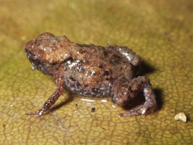 Микролягушки (лат. Paedophryne)