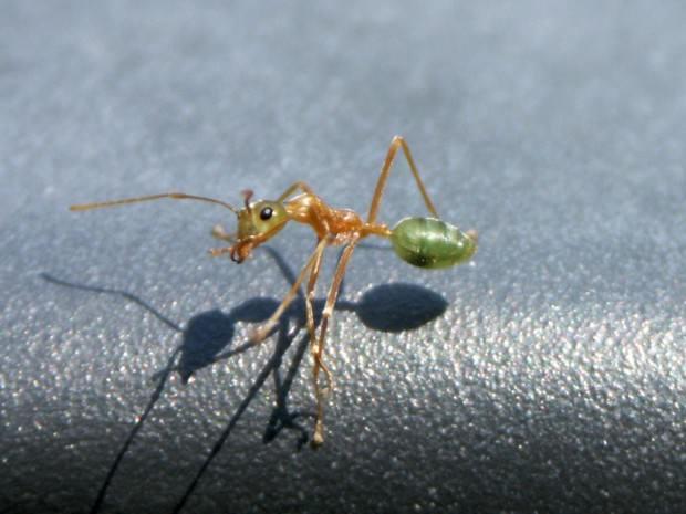 Муравьи-портные или муравьи-ткачи (лат. Oecophylla) (англ. Green Tree Ants)