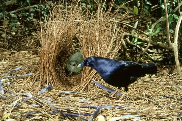Шалашники или беседковые птицы (лат. Ptilonorhynchidae) (англ. Bowerbird)