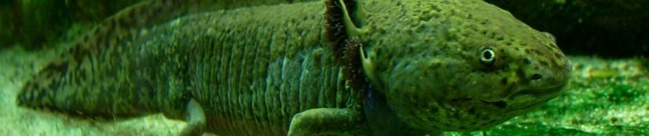 Баобаб или Адансония пальчатая (лат. Adansonia digitata)