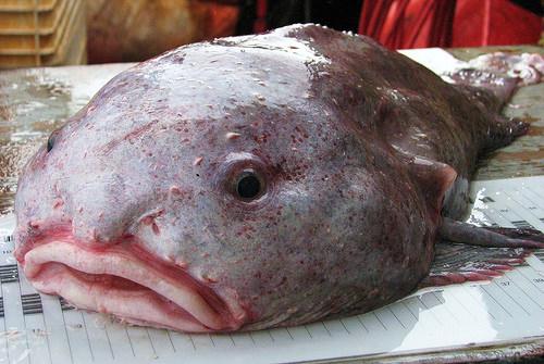 Рыба–капля (англ. Blodfish, лат. Psychrolutes marcidus)