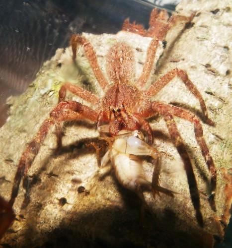 Бразильский странствующий паук поедающий свою жертву