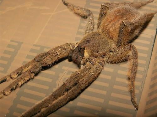 Бразильский странствующий паук (лат. Phoneutria fera)