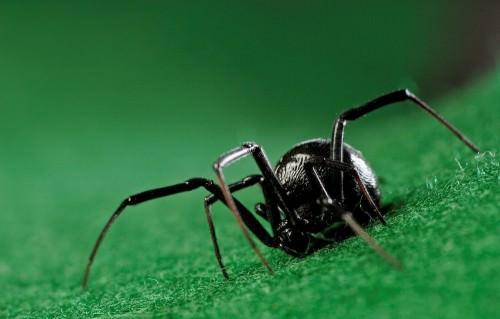 Паук «Черная вдова» (лат. Latrodectus mactans ) (англ. Blackwidow)