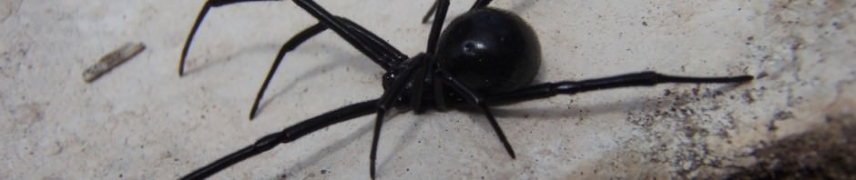 Паук «Черная вдова» (лат. Latrodectus mactans)