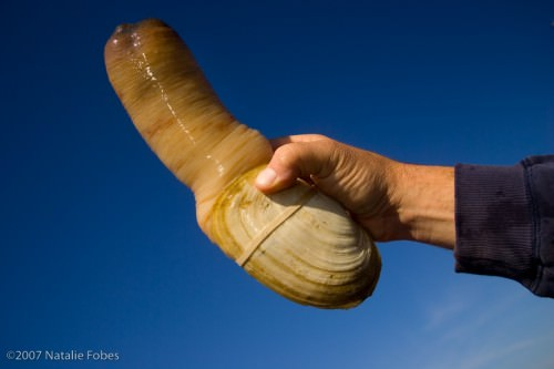 Гуидак или роющий моллюск (лат. Panopea abrupta)