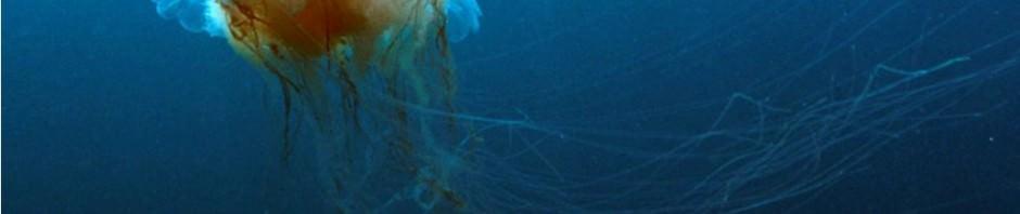Гигантская арктическая медуза (лат. Ceanea arctica, Cyanea capillata)