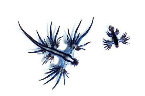Голожаберный моллюск Главк (лат. Glaucus atlanticus)