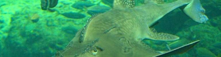 Рыба-гитара (лат. Rhinobatus )