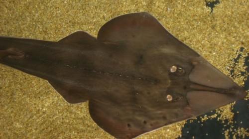Рыба-гитара (лат. Rhinobatus rhinobatus )