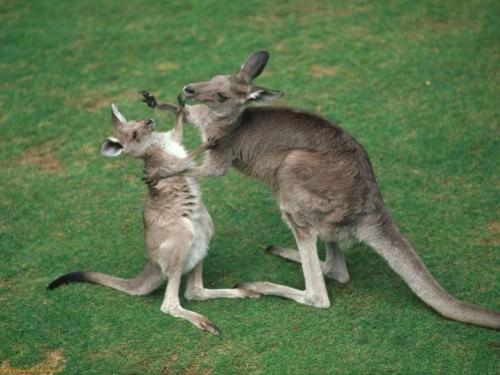 Кенгуру (лат.Macropus) (англ. Kanguroo)