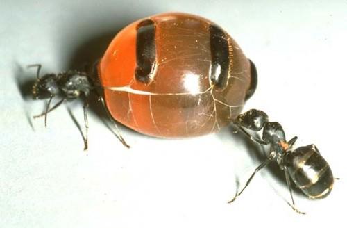 Медовые муравьи (лат. Camponotus inflatus)
