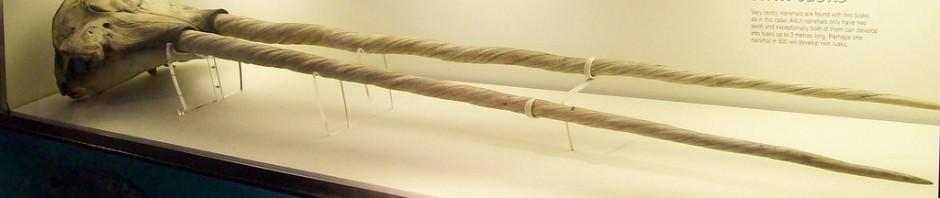 Нарвал или единорог (лат. Monodon monoceros)
