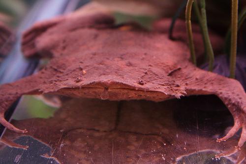 Суринамская пипа (лат. Pipidae)