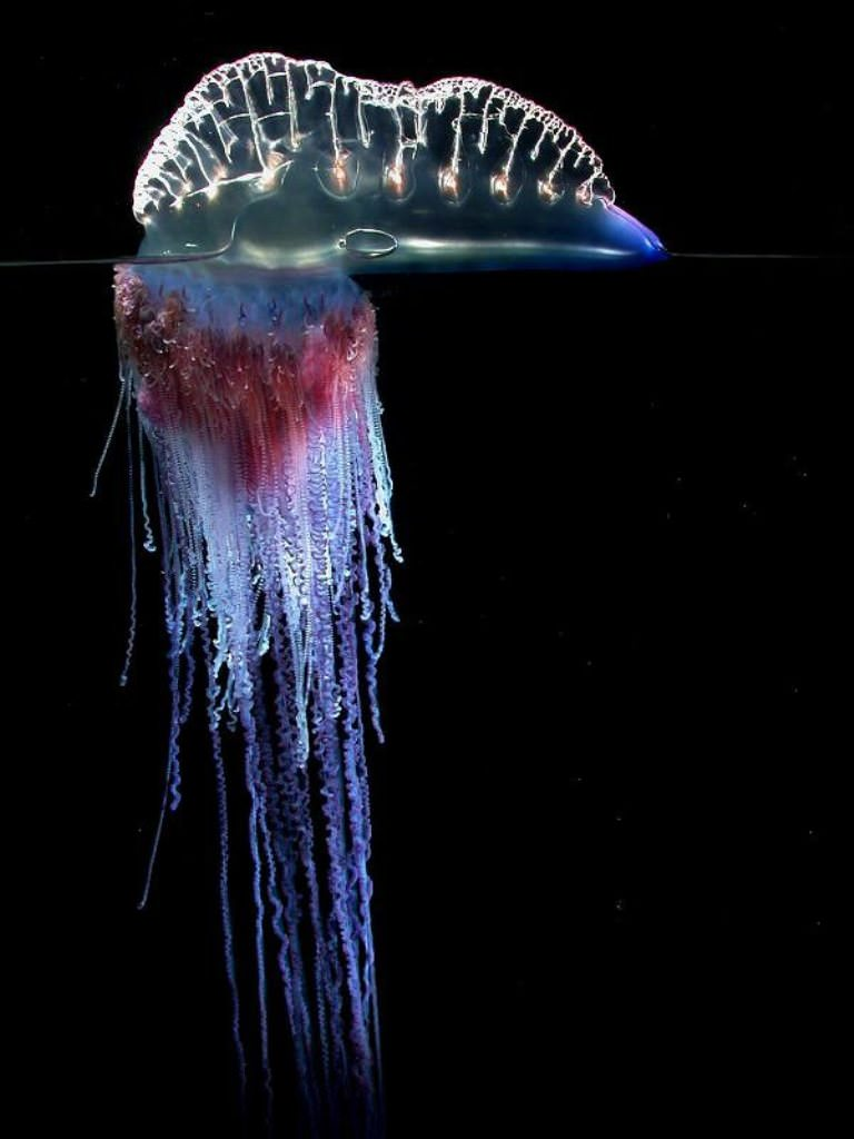 Доклад медуза португальский кораблик 6348