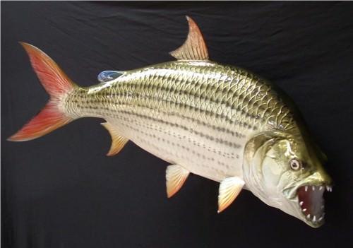 Тигровая рыба Голиаф (лат. Hydrocynus goliath)