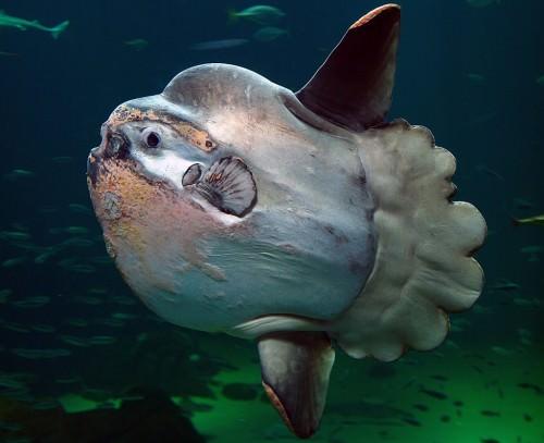 Рыба-луна (лат. Mola-mola)