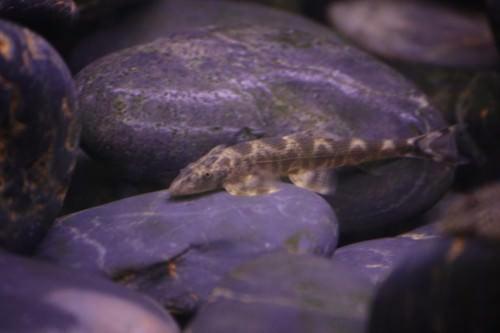 Рыба- ящерица или хомалоптер (лат. Homaloptera tweediei) (англ. Lizard fish)