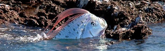 Ремень-рыба (лат. Oarfish)(ремнетел, сельдяной король)