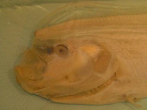 Ремень-рыба или сельдяной король (лат. Oarfish)