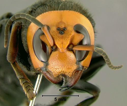 Азиатский гигантский шершень (лат. Vespa mandarina)